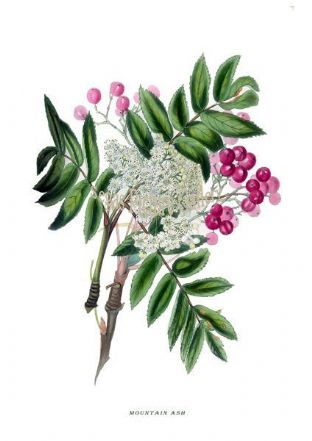 Mountain Ash by Rebecca Hey 1837